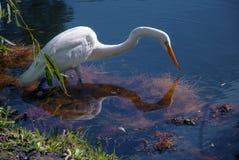 Egret di Snowy Immagine Stock Libera da Diritti