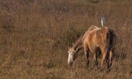 Un Egret di bestiame su un cavallo Immagine Stock