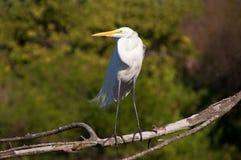 Un egret grande di posizione Immagini Stock