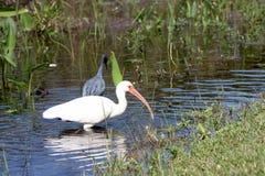 Un egret nel flusso Fotografia Stock