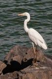 Un Egret sul bordo dell'acqua Immagini Stock