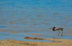 Un Egretta de héron de Tricolored tricolore à la réservation aquatique de baie de citron en Cedar Point Environmental Park, le co photos stock