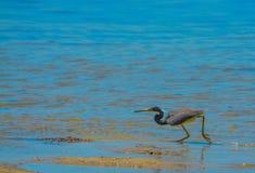 Un Egretta de héron de Tricolored tricolore à la réservation aquatique de baie de citron en Cedar Point Environmental Park, le co images stock