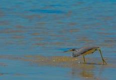 Un Egretta de héron de Tricolored tricolore à la réservation aquatique de baie de citron en Cedar Point Environmental Park, le co photographie stock libre de droits