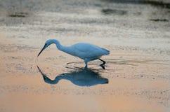 Un'egretta dell'egretta Fotografia Stock