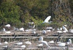 Un'egretta di Snowey circa a terra Immagine Stock