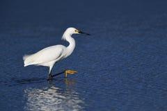Un'egretta di Snowy che cammina nell'acqua Immagine Stock Libera da Diritti