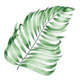 Un ejemplo con una rama aislada de las hojas de una palma pintada en acuarela en un fondo blanco Fotografía de archivo