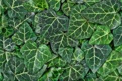 Un fondo de las hojas verde oscuro de la hiedra imágenes de archivo libres de regalías