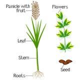 Un ejemplo que muestra partes de una planta de la caña de azúcar libre illustration