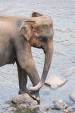 Un elefante Fotografie Stock Libere da Diritti
