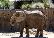 Un elefante Fotografia Stock