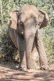 Un elefante Immagine Stock