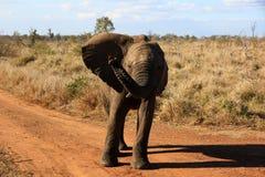 Un elefante Imagen de archivo libre de regalías