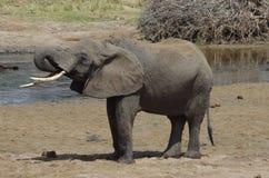 Un elefante africano Fotografía de archivo