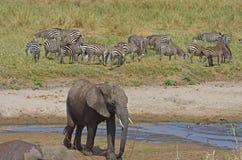 Un elefante africano Fotografía de archivo libre de regalías