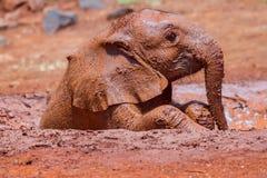 Un elefante africano de Triste-mirada del bebé que toma un baño de fango Imágenes de archivo libres de regalías