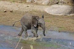 Un elefante africano del bebé Fotos de archivo libres de regalías