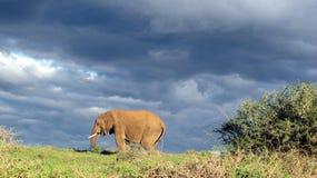 Un elefante africano en el sol de la tarde debajo de las nubes oscuras Imagenes de archivo