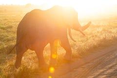 Un elefante africano en la salida del sol fotos de archivo