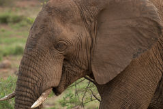 Un elefante africano en Pilanesberg imagenes de archivo