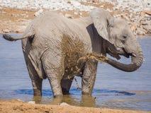 Un elefante africano más joven que se coloca en agujero de agua y que rocía su cuerpo con el fango marrón, parque nacional de Eto fotografía de archivo libre de regalías