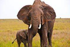 Un elefante africano que protege a su niño Imagen de archivo libre de regalías