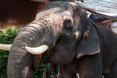 Un elefante asiático joven pide la comida, abriendo su boca y mirando tristemente lejos Foto de archivo