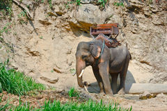Un elefante asiatico con come va per trekking fotografia stock