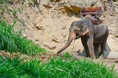 Un elefante asiatico con come va per trekking immagine stock libera da diritti