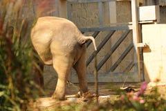 Un elefante asiatico ha bisogno nel parco dietro il cespuglio Vediamo soltanto ed escrementi sulla terra fotografia stock
