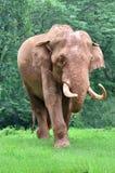 Un elefante asiatico sta camminando Fotografia Stock
