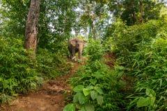 Un elefante cammina in mezzo alla giungla in Chiang Mai Thailand fotografie stock libere da diritti