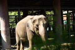Un elefante cammina nel sole luminoso Immagini Stock Libere da Diritti
