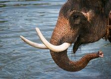 Un elefante capo Fotografie Stock