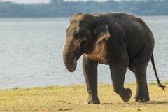 Un elefante che cammina da solo Fotografia Stock