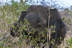 Un elefante che pasce fra il bushland in Uda Walawe National Park nello Sri Lanka Fotografia Stock