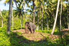 Un elefante contra la perspectiva de una naturaleza tropical hermosa, Sri Lanka Foto de archivo libre de regalías