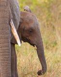 Un elefante del bebé con la madre de los it´s Fotografía de archivo