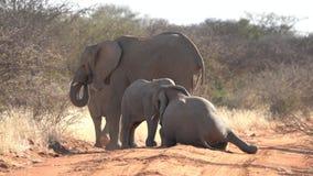 Un elefante del bebé es el jugar visto con su más viejo hermano metrajes