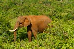 Un elefante del bosque en Aberdares Imagenes de archivo
