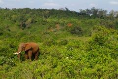 Un elefante del bosque en Aberdares fotografía de archivo