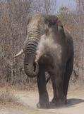 Un elefante della polvere della zanna Immagini Stock