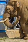 Un elefante della siluetta su un tramonto della priorità bassa Fotografie Stock