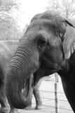 Un elefante di cibo Fotografia Stock