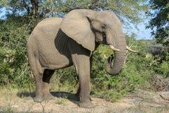 Un elefante en el parque nacional del kruger foto de archivo