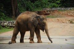 Un elefante en el parque zoológico de Malaca Fotos de archivo libres de regalías