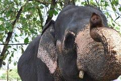 Un elefante en el perahera de Nawam, Gangaramaya, Sri Lanka 2018 Imagenes de archivo