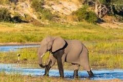 Un elefante está caminando a través del río de Boteti fotos de archivo
