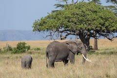 Un elefante femenino que proyecta a su niño Fotografía de archivo libre de regalías